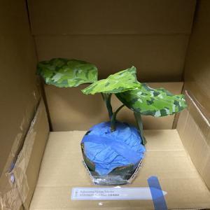 【高級観葉植物】ついに購入しました、ポートブレア産アグラオネマ、アンダマン…!