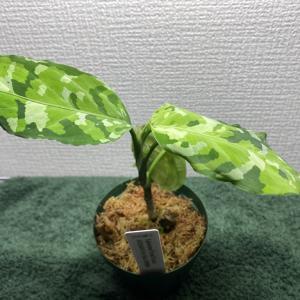 【アグラオネマ】アンダマンの植え替えをします…!【観葉植物】