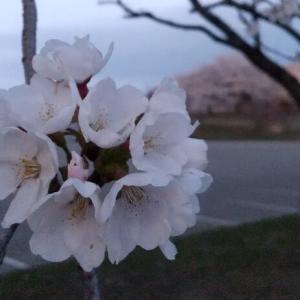 桜の花と気温の関係🌸🌡