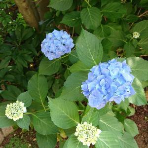 庭の紫陽花と梅酒作り