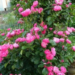 6月8日 曇り 庭の花たち