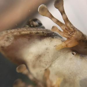カジカガエルの手足