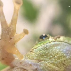 アマガエルの手足 / 人口餌