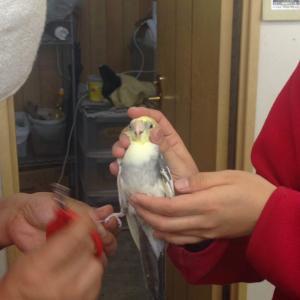 トリミング。鳥さんのメンテナンス。こんぱまるへ爪切り♬