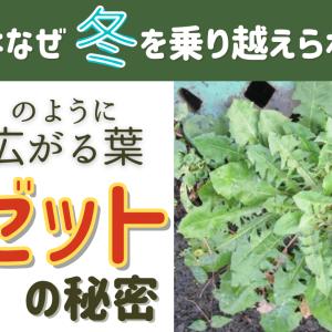 ロゼット植物の生存戦略│雑草が冬を乗り越える最強の戦略