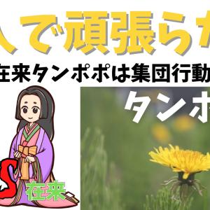 タンポポ(たんぽぽ)ってどんな花?│日本タンポポは集団行動が好き