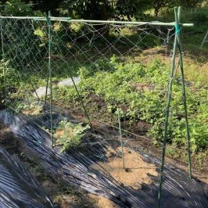 スイカの立体栽培、ネット張ったよ