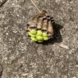 蜂に睨らまれました、P箱に巣を。