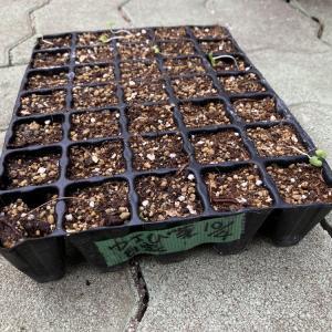 発芽しないよ、わさび菜の種