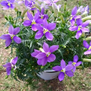 花苗の植え付け ローレンティアとサンブリテニア