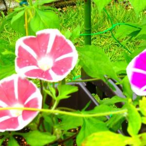日本の夏の定番の朝顔&夏の暑さに強いポーチュラカ