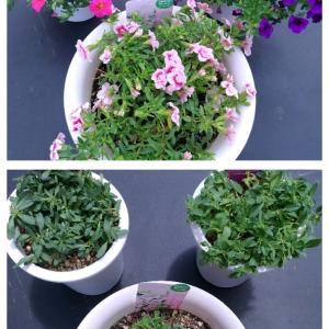 鉢花の管理 切り戻し その2