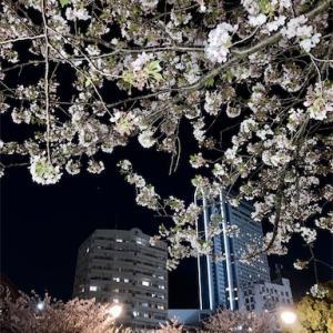 桜/神戸・生田川公園の夜散歩