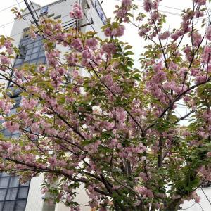 名残の桜?