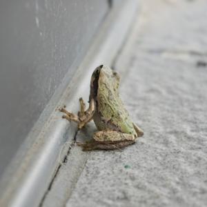 緑色、灰色、白色?アマガエルの本当の身体の色は?体の色が変わる仕組み!