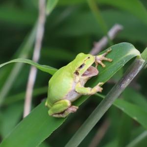 なぜアマガエルは鳴くのか?カエルが鳴く理由が分かれば気持ちが理解できるようになる!?