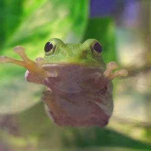 アマガエルに天敵はいるのか?自然界でアマガエルを捕食する生き物とは?