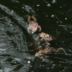 ヒキガエルの過酷な一生とは?天敵から逃れて無事に天寿を全うできるのはどれくらい?