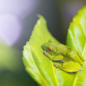 アマガエルに似ているモリアオガエルとはどのようなカエルなのか?その生態と捕まえ方