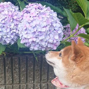 ハルと紫陽花