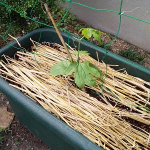 ゴーヤを植えました。