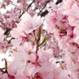 桜のはなびら
