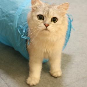 ペルシャ猫がふえました(と、猫用ハンモック+キャットタワー)