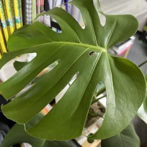 お部屋カフェ化計画!その後(4)「モンステラ観察日記」新たな新芽が!!~レッスンも植物も「観察して変化を見つけること」ってとっても大事!!