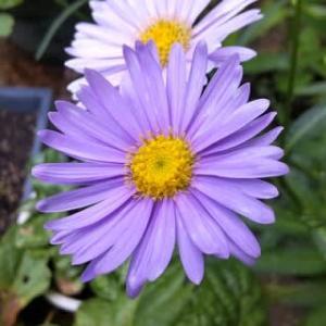 夏の花、ブルーの花