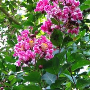 百日紅、サルスベリ、同じ花