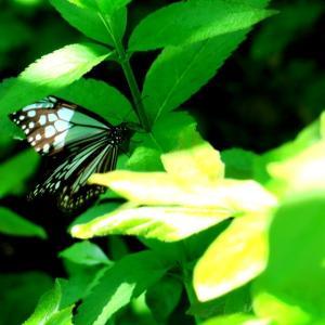 蔵王の夏のアサギマダラさん