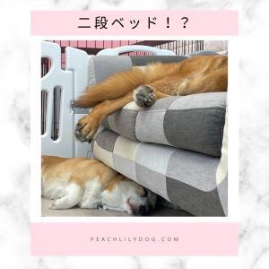 モナちゃんのお部屋での一コマボルト君とモナちゃんが仲良くお昼寝ソファーの上と下をうま...