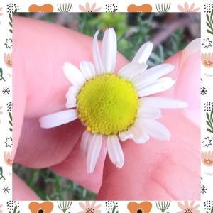 香るカモマイル🌼つぼみ第1号が花ひらく🌼