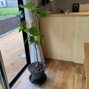 観葉植物の植替え、やっと取り掛かる。