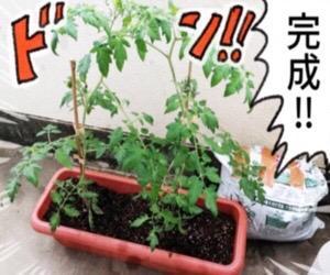 トマト栽培日記(1)「トマトの生命力はすごい!」