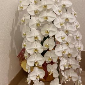 胡蝶蘭が家に来ました