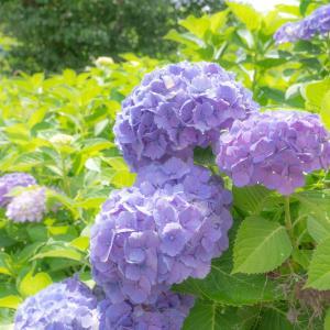 近所の紫陽花を撮りに行った!