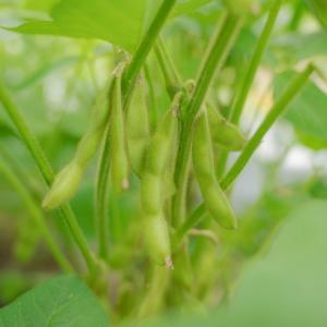 家庭菜園の醍醐味!採れたて枝豆を食べる!