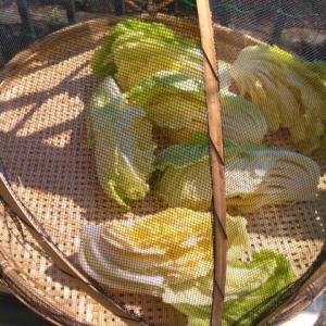 白菜の漬物を塩水で作ってみます