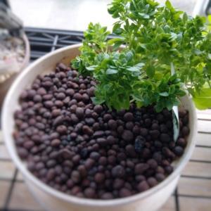バジリコナーノの鉢植えにわくコバエの問題