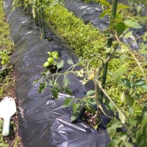 バジルの畑への植え付けと畑の様子