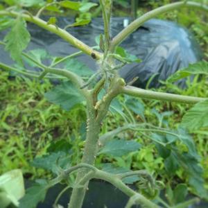ミニトマトの茎の様子が変です