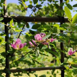 萩の花が咲く頃