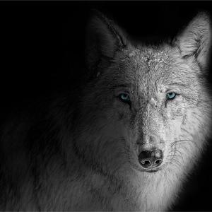 狼っぽい犬