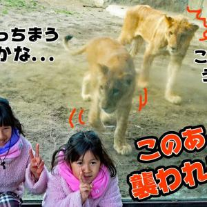 猛獣ライオンに襲われる~><動物園で危機一髪!?himawari-CH