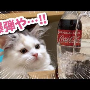 初めての炭酸水を爆弾と言い張る子猫【おしゃべりする猫】
