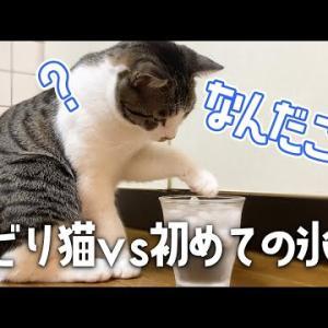 初めての氷水に戸惑いを隠せない猫/おまけあり/Ice water and cat