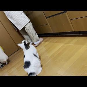 「お母さんならチキンをくれる」と信じて待つ猫
