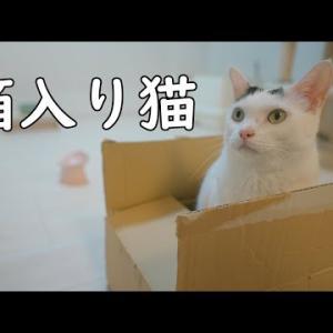 ダンボールに入る箱入り猫と甘えたがりな猫達
