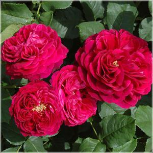 薔薇の名前 Astrid Gräfin von Haldenberg アストリット・グレーフィン・フォン・ハルデンベルグ